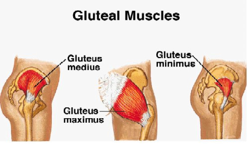 gluteal-muscles1